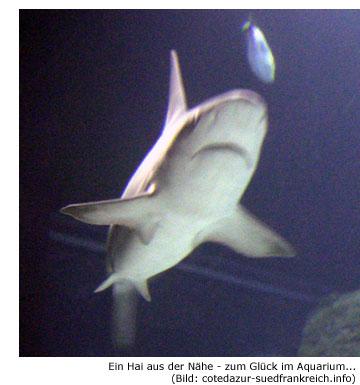 Hai, Haiangriff, Cote d'Azur, Südfrankreich, Attacke